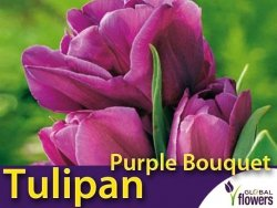 Tulipan Wielokwiatowy 'Purple Bouquet' (Tulipa) CEBULKI 4 szt.