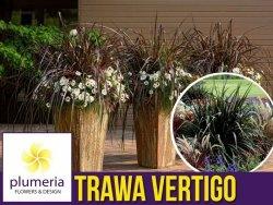 Rozplenica VERTIGO (Pennisetum purpureum) Trawa Sadzonka C2 OUTLET