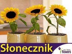 Słonecznik Doniczkowy (Helianthus annuus) 1g