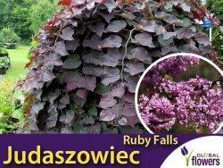 Judaszowiec RUBY FALLS (Cercis canadensis) Sadzonka XL- C4