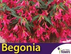 Begonia zwisająca różowa (Begonia x tuberhybrida pendula) CEBULKA
