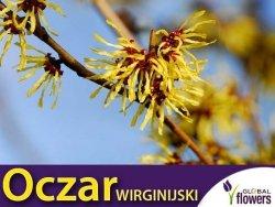 Oczar wirginijski (Hamamelis virginiana) Sadzonka C1