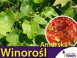 Winorośl amurska (Vitis amurensis) Sadzonka