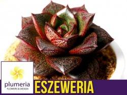 Eszeweria purpurowa (Echeveria purpusorum) Roślina domowa. Sadzonka P12 - M