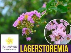 Lagerstroemia SEABURN kwitnie 120 dni (Lagerstroemia indica) Sadzonka C3