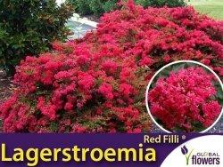 Lagerstroemia RED FILLI ® (Lagerstroemia indica) Sadzonka C1,5