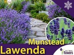 Lawenda wąskolistna 'Munstead' (Lavandula angustifolia) Sadzonka C1,5