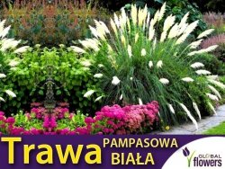 Trawa pampasowa biała (Cortaderia selloana) 0,1g