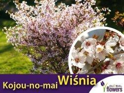 Wiśnia Kojou-no-mai (Prunus incisa) Sadzonka C2