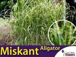 Miskant ALIGATOR (Miscanthus giganteus) Sadzonka C1