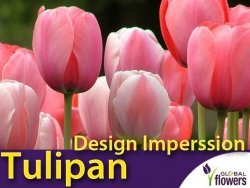 Tulipan Darwina 'Design Imperssion' (Design Impression) CEBULKI 5 szt.