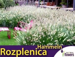 Rozplenica japońska HAMELN (Pennisetum alopecuroides) Sadzonka C2