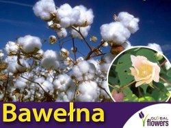 Bawełna indyjska (Gossypium herbaceum) nasiona 5 szt