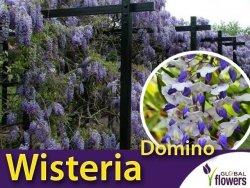 Wisteria Glicynia kwiecista 'Domino' (Wisteria floribunda) Sadzonka 60-90cm