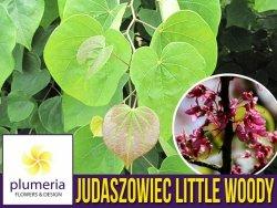 Judaszowiec LITTLE WOODY (Cercis canadensis) Sadzonka XL- C5 40-60cm