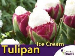 Tulipan Pełny 'Ice Cream ' (Tulipa) CEBULKA