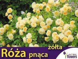 Róża pnąca 'żółta' (Rosa) Sadzonka w balocie