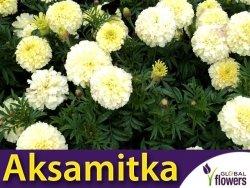 Aksamitka wzniesiona, kremowobiała (Tagetes erecta fl. pl.) 0,3g