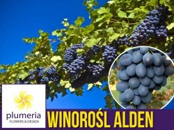 Winorośl ALDEN odmiana deserowa (Vitis) Sadzonka C2