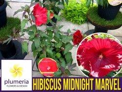 Hibiskus Bylinowy Summerific™ Ogromne Kwiaty 'Midnight Marvel' Sadzonka C2