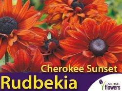 Rudbekia dwubarwna 'Cherokee Sunset' (Rudbeckia hirta) Kłącza