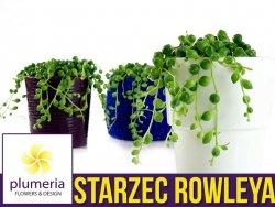 Starzec ROWLEYA sznur pereł (Senecio rowleyanus) Roślina domowa. Sadzonka P8,5 - S