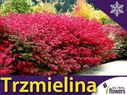 Trzmielina Oskrzydlona COMPACTUS (Euonymus alatus) Sadzonka P9 OUTLET