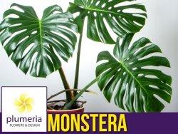 Monstera DZIURAWA (Monstera deliciosa) Roślina domowa. Sadzonka P17 - XL