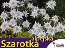 Szarotka alpejska biała (Leontopodium alpinum) nasiona 0,1g
