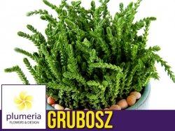 Grubosz widłakowaty (Crassula muscosa) Roślina domowa. Sadzonka P8/10 - M