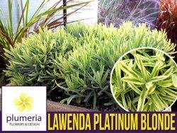 Lawenda PLATINUM BLOND (Lavandula angustifolia) Sadzonka C1,5