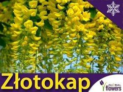 Złotokap Piękny Krzew Kapiący Złotem (Laburnum watereri) Sadzonka