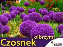 Czosnek Olbrzymi (Allium giganteum) CEBULKA