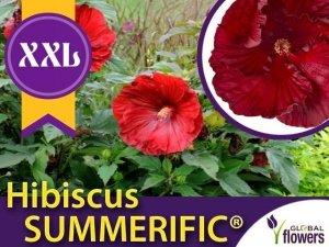 Hibiskus Bylinowy Summerific™ Ogromne Kwiaty 'My Valentine' Sadzonka