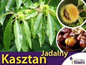 Kasztan jadalny (Castanea sativa) Sadzonka