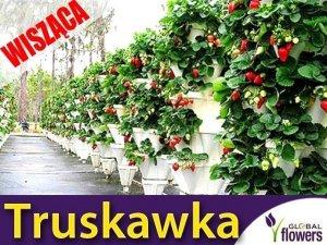 Truskawka Temptation Pnąco-wisząca (Fragaria x ananassa) 0,03g