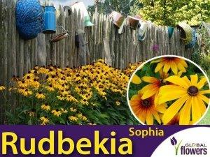 Rudbekia SOPHIA (Rudbeckia) Sadzonka C2