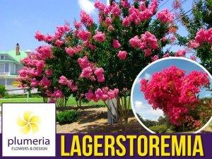 Lagerstroemia PURPUREA Kwitnie 120 dni (Lagerstroemia indica) Sadzonka C1