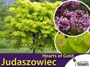 Judaszowiec 'Hearts of Gold' (Cercis canadensis) Sadzonka XL- C5 60-80cm