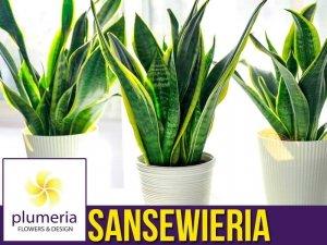 Sansewieria SUPERBA (Sansevieria) Roślina domowa. Sadzonka P12 - M