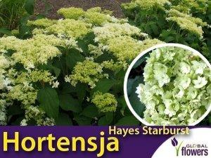 Hortensja drzewiasta 'Hayes Starburst' (Hydrangea arborescens) Sadzonka C3 60-80cm