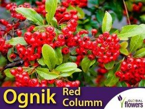 Ognik szkarłatny czerwony 'Red Column' (Pyracantha coccinea) Sadzonka C1