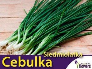 Cebulka siedmiolatka (Allium fistulosum) Sadzonka P9