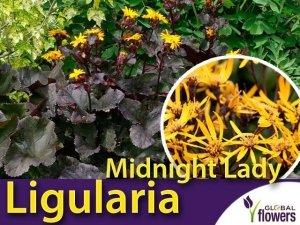 Ligularia języczka Pomarańczowa 'Midnight Lady' (Ligularia denata) Sadzonka