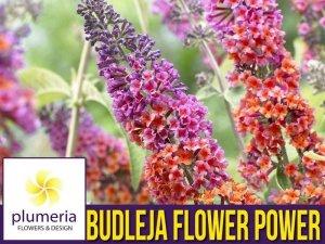 Budleja FLOWER POWER (Buddleia) Rarytas ! Sadzonka C3