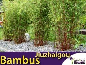 Czerwony Bambus Mrozoodporny (Fargesia Jiuzhaigou) Sadzonka C2,5