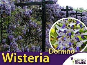 Wisteria Glicynia kwiecista DOMINO (Wisteria floribunda) 3letnia Sadzonka 60-90cm