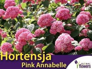 Hortensja Drzewiasta Pink Annabelle (Hydrangea arborescens) sadzonka
