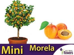 DRZEWKO OWOCOWE Mini Morela (Prunus armeniaca) Sadzonka C6
