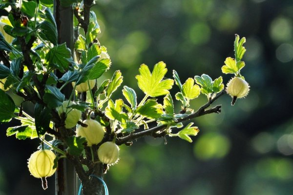 Agrest zielony Invicta (Ribes uva-crispa) Sadzonka